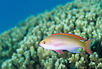 Moorea, French Polynesia; Redfin Anthias (Pseudanthias dispar), to 9.5 cm (3 3/4 in.), form plankton-feeding affregations 1-3 meters above substrate, upper edge of steep slopes to 15 meters, East Indo-Pacific, Christmas Island to Line Island in Eastern Central Pacific, S.W. Japan and Micronesia to Great Barrier Reef , Copyright © Matthew Meier, matthewmeierphoto.com All Rights Reserved
