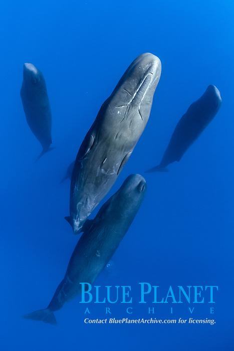 sperm whale, Physeter macrocephalus, pod, sleeping, socializing, vertically suspended in mid-water, Dominica, Caribbean Sea, Atlantic Ocean, photo taken under permit #P 351/12 W-2
