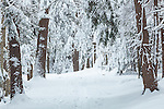 Fresh snow in the hemlock forest at Vaughan Woods Memorial State Park in South Berwick, Maine, USA