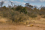 African Lion (Panthera leo) female sleeping in bushveld, Greater Makalali Private Game Reserve, South Africa