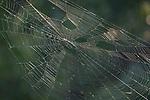 Brazoria County, Damon, Texas; a massive orb-weaver spider web backlit by the sun