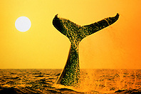 humpback whale lobtailing at sunset, .Megaptera novaeangliae, .Hawaii (Pacific) (pc).