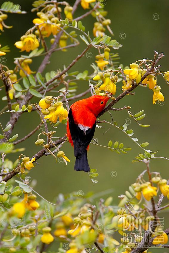 Iiwi (Vestiaria coccinea)A common nectar feeding Hawaiian honeycreeper found only in the high mountain forest of the main Hawaiian Islands.