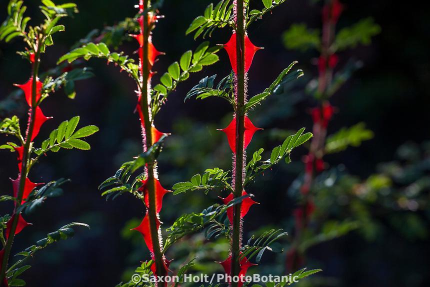 Rosa sericea subsp. omeiensis f. pteracantha (Winged Thorn Rose), Elisabeth Miller Botanical Garden