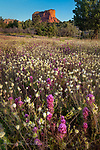 Field of Flowers.  Here's another sunrise scene in the Coconino National Forest near Sedona.  It has turned out to be one of those banner years for wildflowers in Arizona, thanks to a favorable pattern of storms during the winter and early spring.  In addition to finding blossoms pretty much everywhere around here, some varieties are popping up that I have never noticed previously.  This field, with Courthouse Rock in the background, is full of white Cream Cups spiced with some purple Owl's Clover, which are common at our elevation in Arizona.<br /> <br /> Image ©2020 James D. Peterson