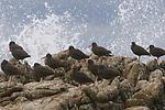 Flock of Black Oystercatchers (Haematopus bachmani) resting on coastal rocks as a wave crashes. Monterey County, California. October.