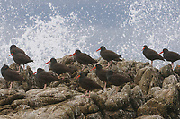 Flock of Black Oystercatchers (Haematopus bachmani) resting on coastal rocks as a wave crashes. Monterey County, California. October.