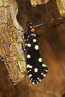 Anthrazitmotte, Anthrazit-Motte, Euplocamus anthracinalis, Tinea anthracinella, Tinea guttella, Black Clothes, Motte, Motten, Tineidae, tineoid moth, tineoid moths