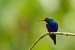 Violet-bellied Hummingbird (Juliamyia julie) male scratching himself in rainfall, Panama Rainforest Discovery Center, Gamboa, Panama