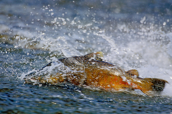 Chinook or king salmon (Oncorhynchus tshawytscha) trying to negotiate shallow water on spawning migration.