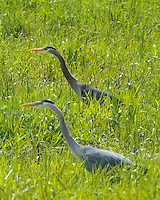 Two Great Blue Herons stalking side-by-side through the tall grass in a field at the Ridgefield National Wildlife Refuge