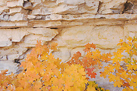 Canyon wall Bigtooth Maples (Acer grandidentatum) fallcolors, McKittrick Canyon, Guadalupe Mountains National Park, Texas, USA, November 2005