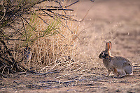 Rabbit, Arizona