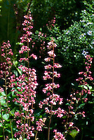 Heuchera Berry Timeless in flower