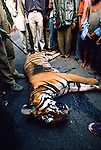 Young male Bengal Tiger (Panthera tigris tigris) killed by truck while crossing the main road outside Kaziranga NP, Assam, India.