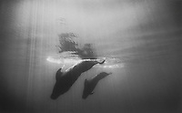 Pilot Whales diving, Big Island of Hawaii
