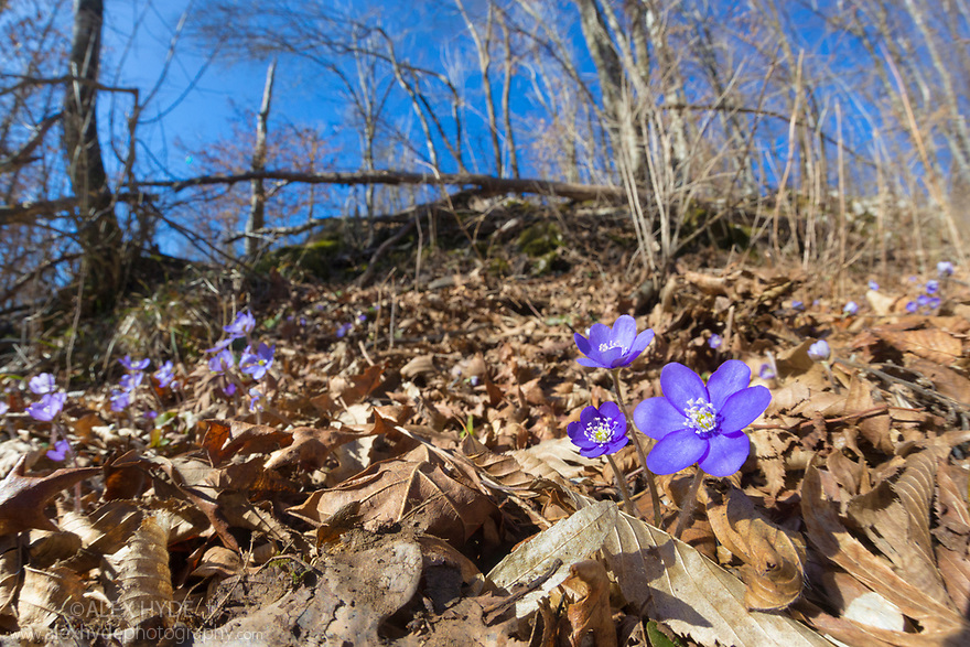 Hepatica (Hepatica nobilis) in flower on the woodland floor, Slovenia. March.