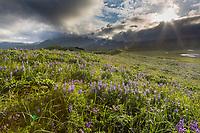 Field of wildflowers in Katmai National Park, Alaska Peninsula, southwest Alaska. Aleutian mountain range in the distance.