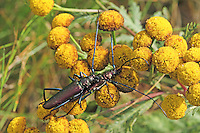 Moschusbock, Moschus-Bock, Moschusbockkäfer, Moschus-Bockkäfer, Paarung, Kopulation, Aromia moschata, musk beetle, pairing, copulation