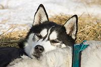 Wayne Curtis dog *Scorpio* rests his head on his running partner *Trump* in Koyuk on Friday during Iditarod 2008