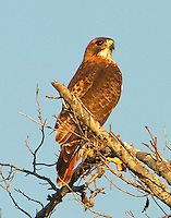 Adult red-tailed hawk in October