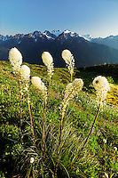 Beargrass in subalpine meadow in the Bailey Range high above the Hoh River valleyat, Mount Olympus in background, Olympic Mountains, Olympic National Park, Washington
