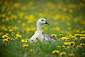 A male upland goose rests in a field of dandelions.