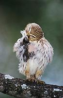 Ferruginous Pygmy-Owl, Glaucidium brasilianum, adult preening, Willacy County, Rio Grande Valley, Texas, USA, June 2004