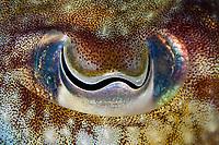 Cuttlefish, Sepia officinalis, Puerto Mogan, Gran Canaria, Canary Islands, Spain, North Atlantic Ocean