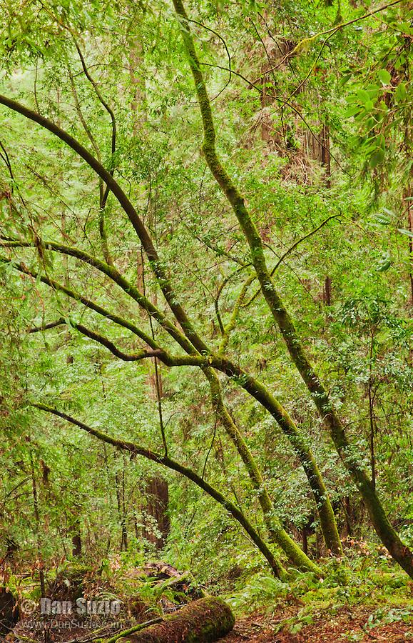 Big Hendy Grove, Hendy Woods State Park, California