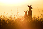 Eastern Grey Kangaroo (Macropus giganteus) mother and joey in grassland at sunset, Mount Taylor Nature Reserve, Canberra, Australian Capital Territory, Australia