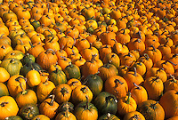 AJ4581, autumn, pumpkins, A large amount of pumpkins for sale cover an entire lawn.
