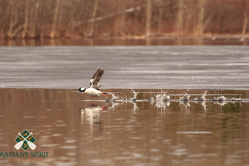"""""""Spring on the Wing""""<br /> A bufflehead, Bucephala albeola, takes flight from the icy waters of Fall Lake.<br /> ~ Day 47 of Inspired by Wilderness: A Four Season Solo Canoe Journey"""