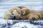 A couple of polar bears snuggle on the snow, Canada.