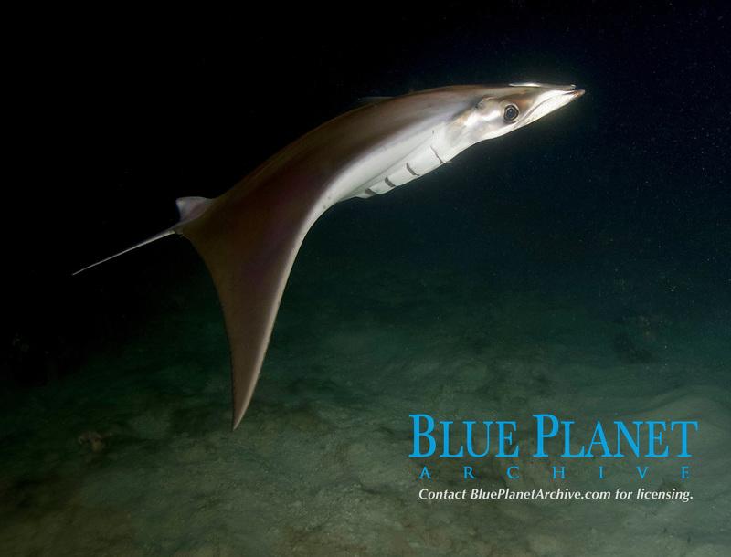 mobula, Mobula species, swimming at night, Isla Esperitu Santo, Baja California Sur, Mexico, Sea of Cortez, Gulf of California, Pacific Ocean
