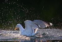 Herring  gull at Lauvsnes, Norway