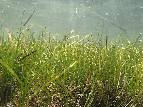 Zostera marina seagrass