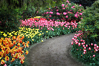 Roozengaarde display garden with path and mixed tulips. Mt. Vernon. Washington