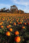 Pumpkins ready for the picking in a field in northeast PA in the fall.