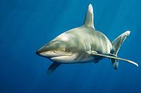 Oceanic white tip shark, Carcharhinus longimanus, Elphinstone reef, Red Sea, Indian Ocean