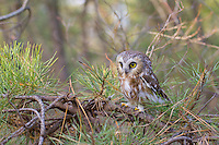 Saw-whet Owl, in pitch pine forest.  Pine Barrens, New Jersey