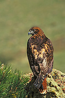 Red-tailed hawks (Buteo jamaicensis).  Western U.S.