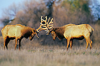 ME1006  Tule Elk bulls sparring though not to seriously--dominance behavior.  (Cervus elephus nannodes).  San Luis National Wildlife Refuge, CA.  Winter.