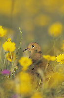 Mourning Dove, Zenaida macroura,adult in Wildflowers, Starr County, Rio Grande Valley, Texas, USA, May 2002