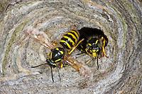 Waldwespe, Wald-Wespe, am Nest, Wespennest, Wespe, Dolichovespula sylvestris, Tree wasp, wasps' nest, vespiary