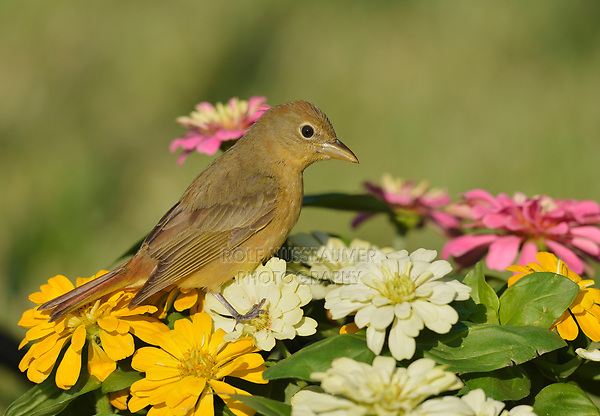 Summer Tanager (Piranga rubra), adult female on Zinnia flowers, South Padre Island, Texas, USA