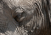 Close-up of the eye of an African Elephant, Loxodonta africana, in Serengeti National Park, Tanzania