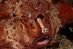 Batfish, Polka dot, Ogcocephalus radiatus