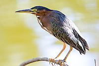 Green Heron, Arizona, USA