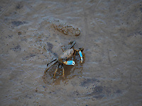 Mud Crabs on the Mudflats coastline of Bac Lieu, Vietnam